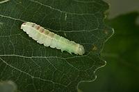 Pappelauen-Zahnspinner, Raupe frisst an Zitterpappel, Gluphisia crenata, dusky marbled brown, dusky marbled brown moth, caterpillar, La Crénelée, Zahnspinner, Notodontidae, prominents