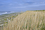 Westhaven State Park's sand and dunes are popular with beachcombers and surfers alike.  Located adjacent to the city of Westport.  The south jetty of Grays Harbor marks the north beach area.  Invasive European beachgrass and American Beachgrass build the foredunes higher than native Dunegrass.