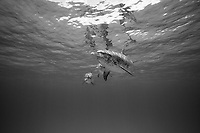black and white composition Meet the Spotted Dolphins, Atlantic spotted dolphin, Stenella frontalis, Bimini, Bahamas, Caribbean, Atlantic