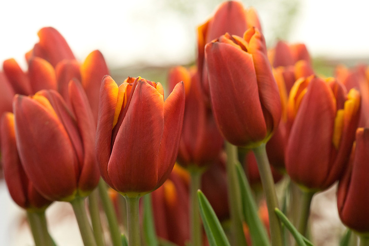 Tulip 'Abu Hassan' (Triumph Group), mid May. Raised in 1976 by J.F. van den Berg & Sons, C. Roet & Sons.