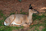 White-tailed deer doe resting at edge of forest facing right.