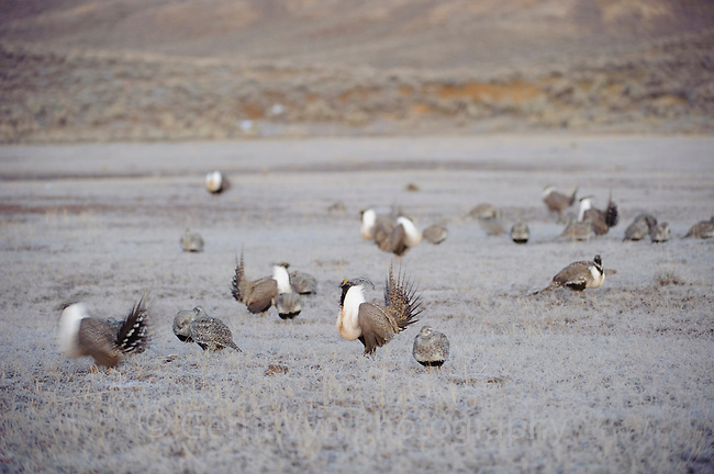 Male Greater Sage-Grouse (Centrocercus urophasianus) accompanied by many females on a lek before dawn. Freemont County, Wyoming. March.