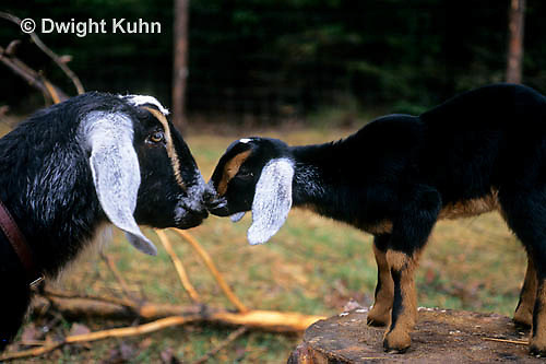 SH05-015z   Goat - adult with kid