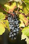 Grappe de raisins rouges. Parc national des Cinque Terre. Ligurie. Italie.