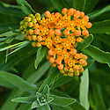Asclepias tuberosa, commonly known as Butterfly weed or milkweed, end June.
