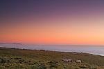 Tule Elk (Cervus elaphus nannodes) bulls in coastal grassland at sunset, Point Reyes National Seashore, California