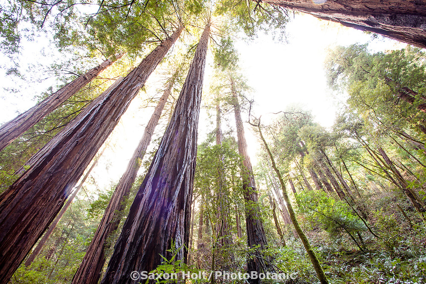 Redwood Trees, Sequoia sempervirens, in Muir Woods, Marin County, California
