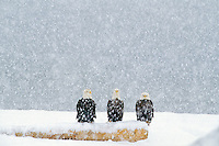 Bald Eagles (Haliaeetus leucocephalus)  sitting on beach log during heavy winter snowstorm.