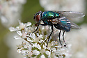 Greenbottle {Lucilia caesar} feeding on umbellifer flowers. Devon, UK. June.