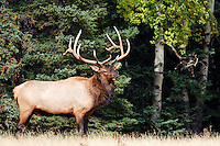 Bull elk standing in field, Banff, Banff National Park, Canadian Rockies, Alberta, Canada