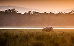 India, Assam, Kaziranga National Park, Indian rhinoceros (Rhinoceros unicornis), also called the greater one-horned rhinoceros