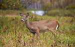 A buck fawn in a northern Wisconsin field.