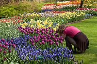 """Hollande, région des champs de fleurs, Lisse, Keukenhof, massif de plantes bulbeuses, tulipes, narcisses, muscaris et photographe // Holland, """"Dune and Bulb Region"""" in April, Lisse, Keukenhof, flowerbeds of tulips, daffodils, muscaris and photographer tourism."""