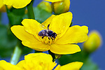 Liverwort plant close-up single flower with bee nectaring