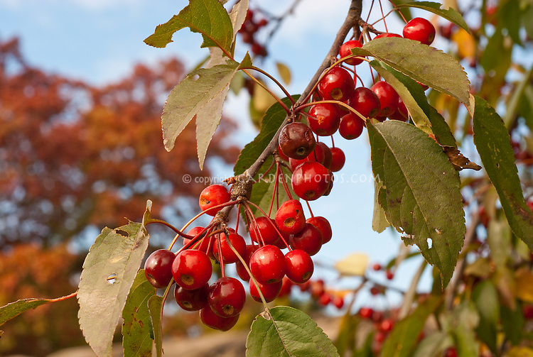 Crabapple Indian Summer in red fruits (Malus) against blue sky . Crab apple