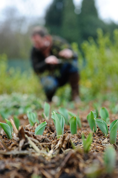 Tulips emerging