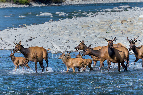 Roosevelt Elk (Cervus canadensis roosevelti) herd, sometimes called Olympic Elk, fording river.  Olympic National Park, WA.  June.