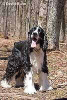 0720-1004  English Springer Spaniel Hiking on Mount Rogers Trail in Southwest Virginia, Canis lupus familiaris  © David Kuhn/Dwight Kuhn Photography