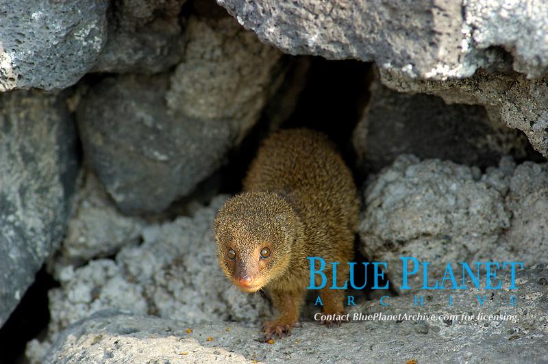 The wild Mongoose, Herpestes auropunctatus, of Hawaii The Big Island of Hawaii