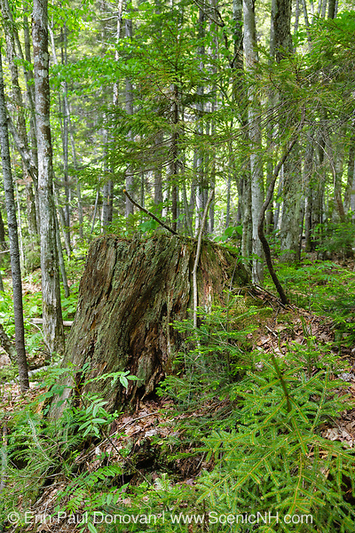 Pemigewasset Wilderness - Decaying tree stump along Thoreau Falls Trail in the White Mountains, New Hampshire during the summer months. This area was logged during the East Branch & Lincoln Logging Railroad era, which operated from 1893-1948.
