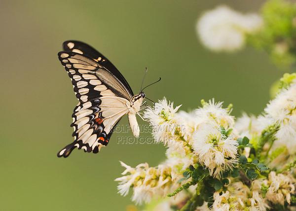 Giant Swallowtail (Papilio cresphontes), adult feeding on flower, Sinton, Corpus Christi, Coastal Bend, Texas, USA