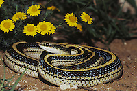 Texas patchnose snake (Salvadora grahamiae lineata), adult, Starr County, Rio Grande Valley, Texas, USA