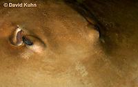 0130-08tt  Southern stingray, Dasyatis americana © David Kuhn/Dwight Kuhn Photography