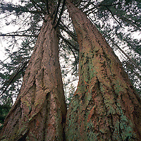 Looking up Giant Douglas Fir (Pseudotsuga menziesii) Trees growing on Texada Island, British Columbia, Canada