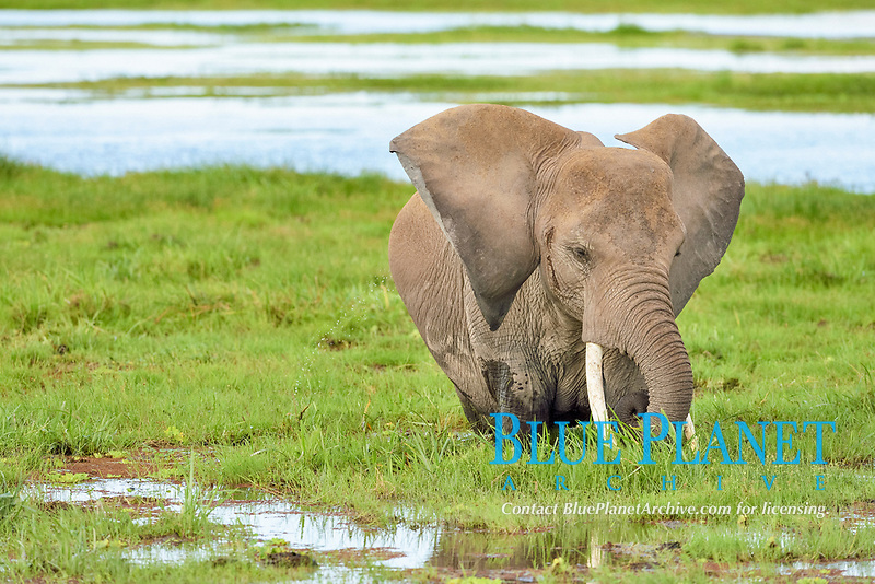 African Elephant (Loxodonta africana) with ears raised, in the swamp, Amboseli National Park, Kenya, Africa