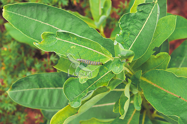 Monarch Butterfly (Danaus plexippus) 3rd instar Caterpillar feeds on Common Milkweed (Asclepias syriaca) in backyard garden. Milkweed is the only food Monarch caterpillars will eat. Summer. Nova Scotia, Canada.