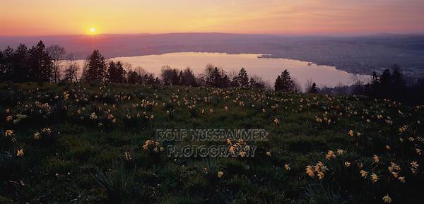 Sunset over lake of Zug and Daffodils, Zugerberg, Zug, Switzerland