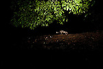 African Brush-tailed Porcupine (Atherurus africanus) crossing over log bridge at night, Lope National Park, Gabon