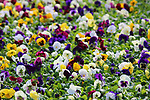 A group of multicolored pansy plants