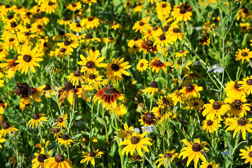 Field of black eyed susan wildflowers.