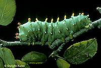 LE26-006f  Cecropia Moth - caterpillar - Hyalophora cecropia