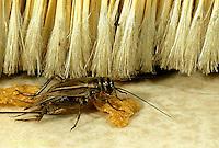 OR10-009z   Cricket - house cricket - Acheta domestica