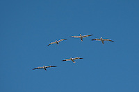 Basstölpel, Baßtölpel, Flug, Flugbild, fliegend, Tölpel, Sula bassana, Morus bassanus, northern gannet
