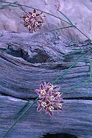 Climbing milkweed, 119 Mile Camp<br /> Stephen Aisle,  Grand Canyon<br /> Grand Canyon National Park <br /> Colorado Plateau, Arizona
