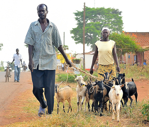In northern Uganda, a couple takes their goats to market.  Daily commerce is returning, after a protracted, brutal insurgency by the Lords Resistance Army (LRA).