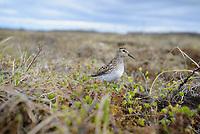 Least Sandpiper (Calidris minutilla) cautiously approaching its nest. Yukon Delta National Wildlife Refuge. May.