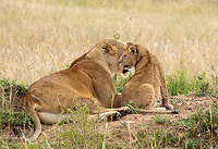 A female Lion, Panthera leo  melanochaita, with her cub in Maasai Mara National Reserve, Kenya