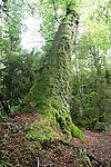 Beech forest, Kepler Track, Fiordland, New Zealand