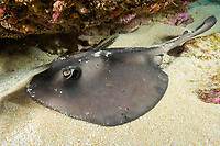 Striped stingaree, Trygonoptera ovalis, rests on the sand under a ledge. Albany, Western Australia, Southern Ocean