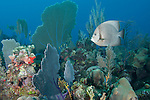Gardens of the Queen, Cuba; an adult Gray Angelfish swimming over the coral reef