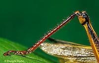 """OR04-014a  Grasshopper - leg close-up, short horned or """"true"""" grasshopper, two-striped grasshopper - Melanoplus bioittatus"""
