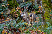 Coastal Black-tailed Deer Buck or Columbian black-tailed deer buck (Odocoileus hemionus columbianus).  Late Fall (bigleaf maple leaves on ground), Pacific Northwest.  Note swollen neck during fall rut.