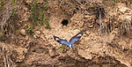 Female belted kingfisher leaving nest site in northern Wisconsin.