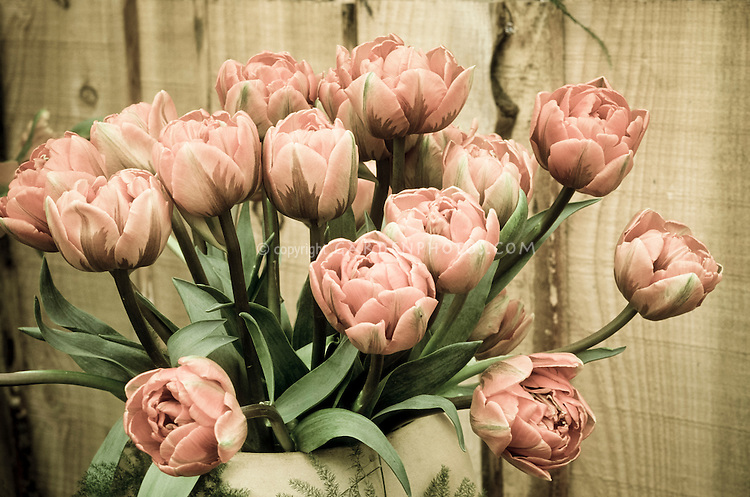Tulipa 'Orange Princess' tulips picked in a vase against rustic wood wall, aged sepia, faded pink toned photograph, nostalgia, nostalgic old fashioned feel of spring flowering bulbs