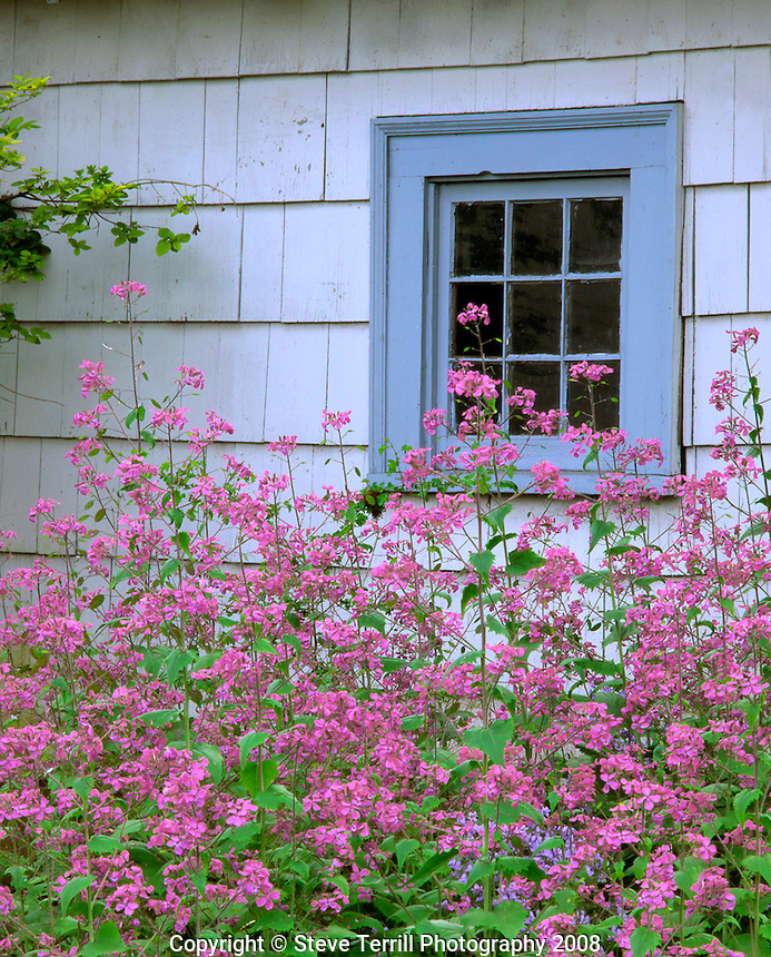 Honesty wildflowers along old shed
