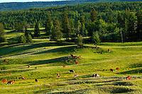 Cows in British Columbia, Canada.